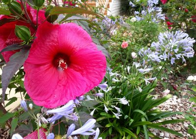 fleurs d'hibiscus et d'agapanthe en Périgord